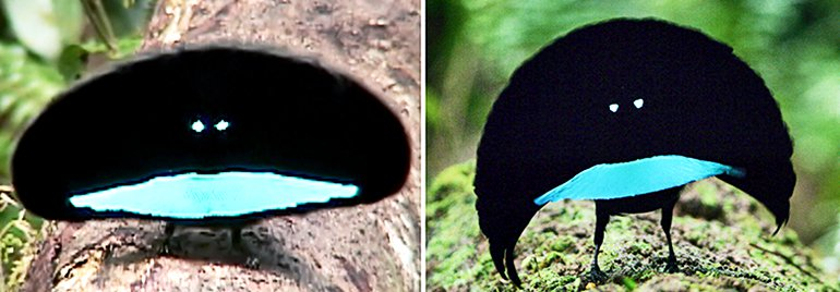 perbedaan cenderawasih kerah dan cenderawasih vogelkop