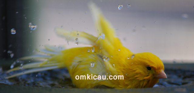 Tips mengatasi burung kenari yang susah mandi