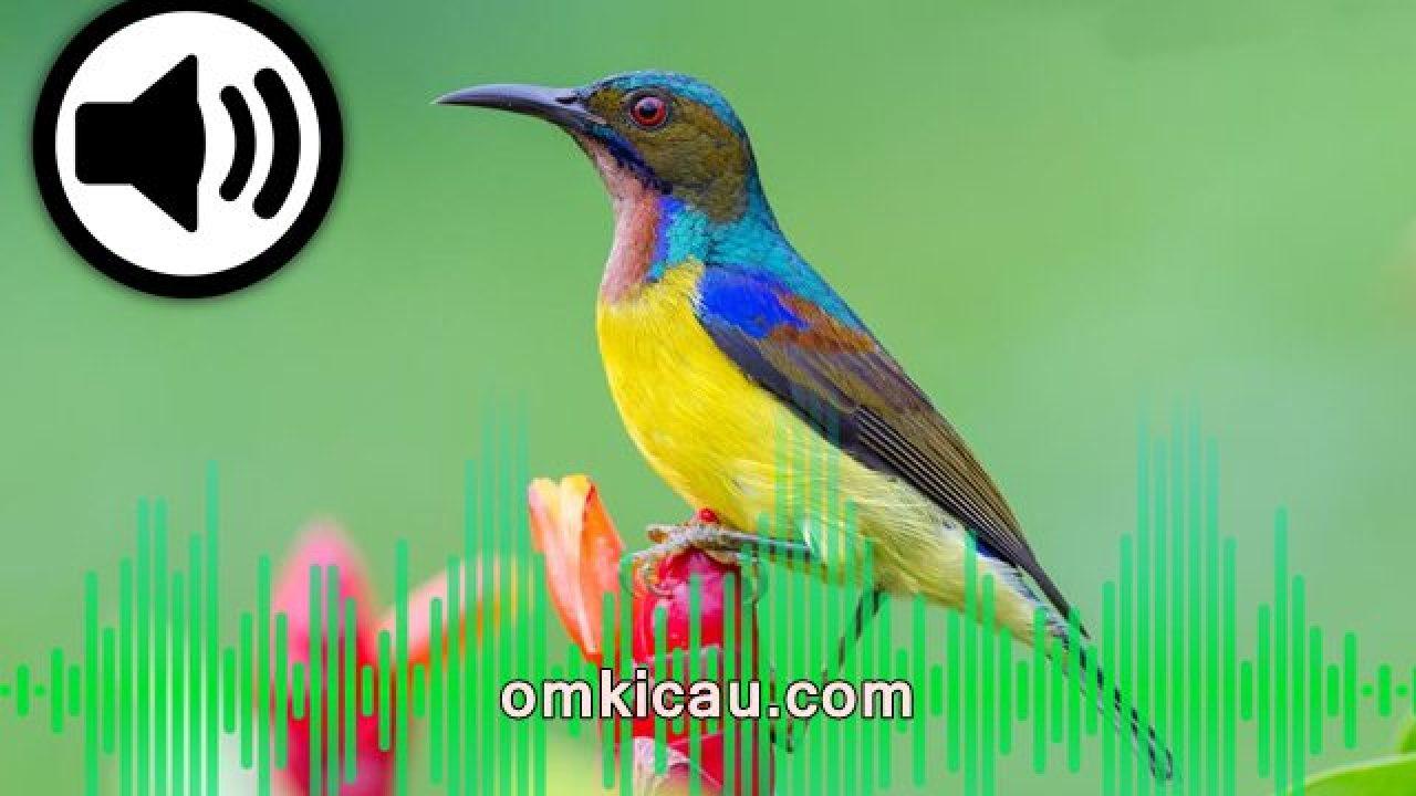 Suara Kicauan Burung Madu Untuk Memancing Bunyi Burung Piaraan Lainnya Om Kicau