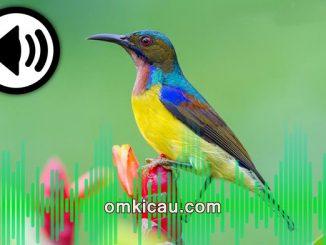 Suara burung-madu untuk pancingan bunyi