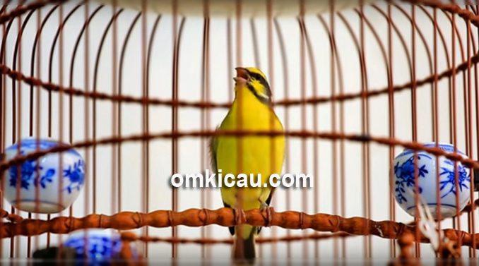 merawat burung mozambik