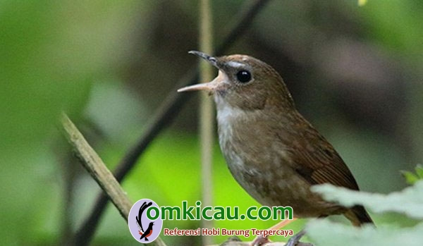 Burung cingcoang cokelat