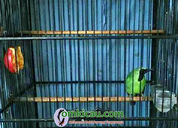 Cucak hijau Green Day