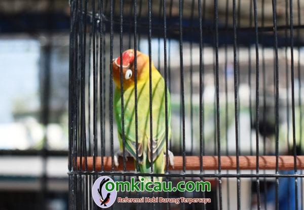 Lovebird Acoy