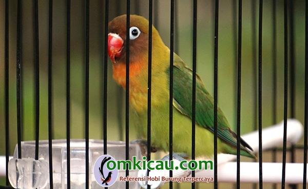 Lovebird Grandong
