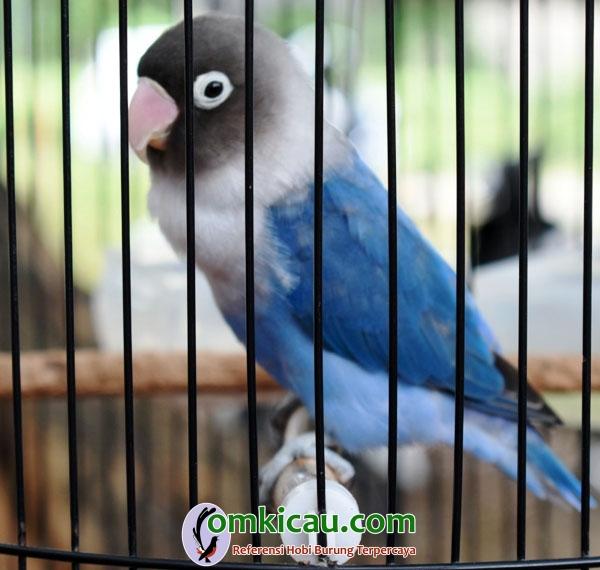 Lovebird Nella