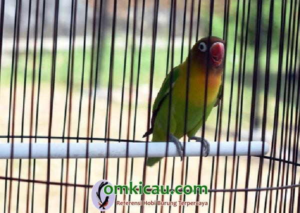 lovebird Troli