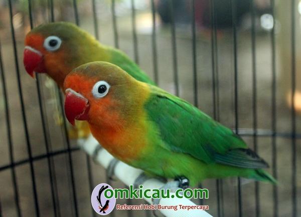 Lovebird Ontel