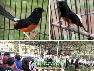 Murai Batu BnR Bird Champion 2