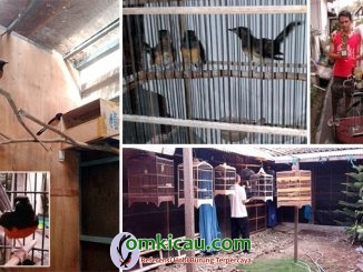 breeding murai batu MR Bird Farm