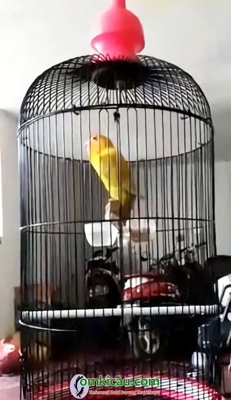 Lovebird Amoy