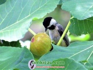 Mengenal manfaat buah tin untuk burung kicauan