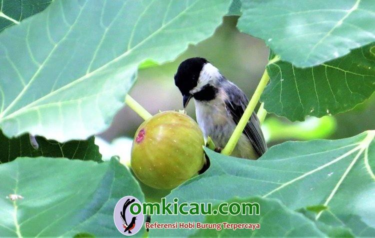 manfaat buah tin untuk burung kicauan