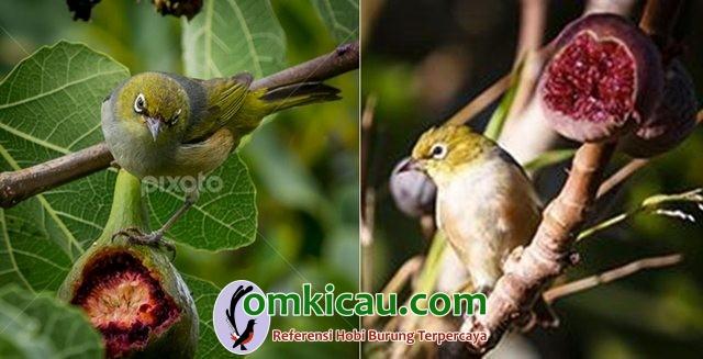 Burung pleci liar sedang memakan buah tin