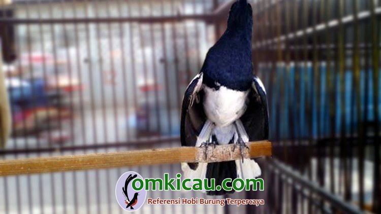 Cara merawat burung kacer