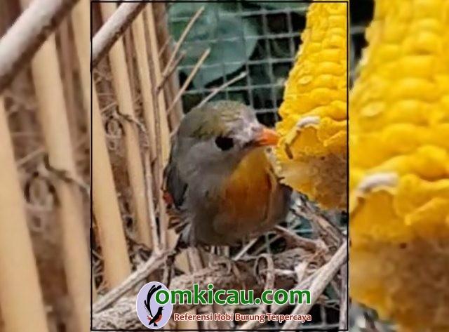 Perawatan burung pekin robin macet bunyi