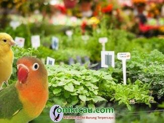 Delapan jenis tanaman herbal untuk kenari dan lovebird