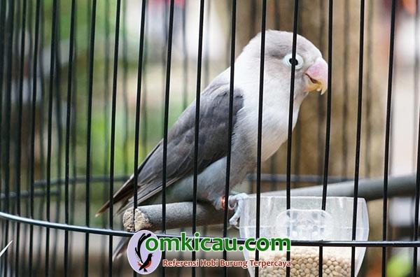 Lovebird Cangcut