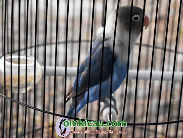 Lovebird PCC