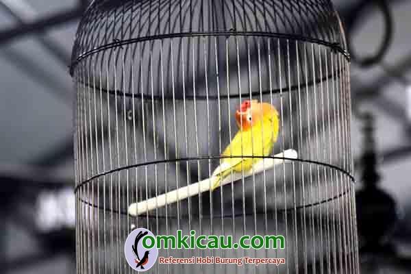 lovebird Cepot