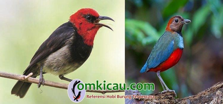 Dua jenis burung baru, myzomela irianawidodoae (kiri) dan paok papua