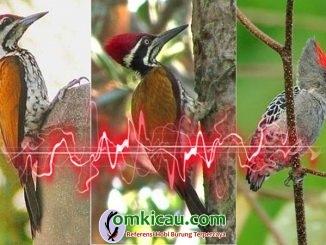 Kombinasi tiga audio burung pelatik untuk masteran