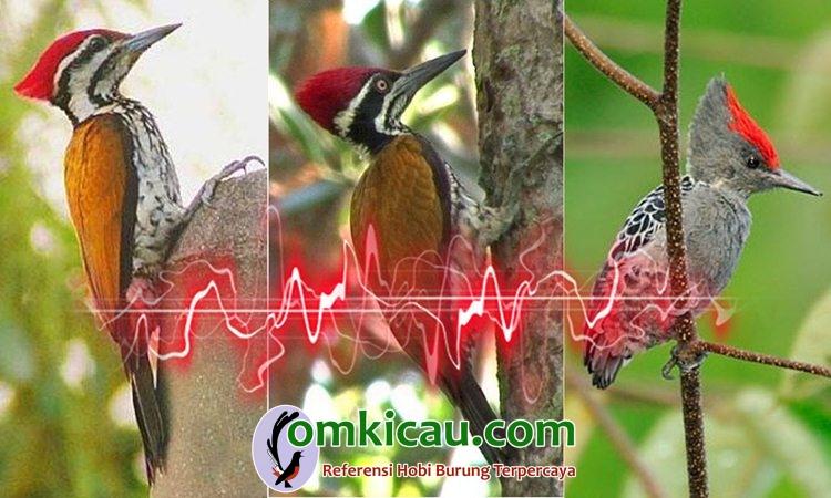 suara kicauan burung pelatuk