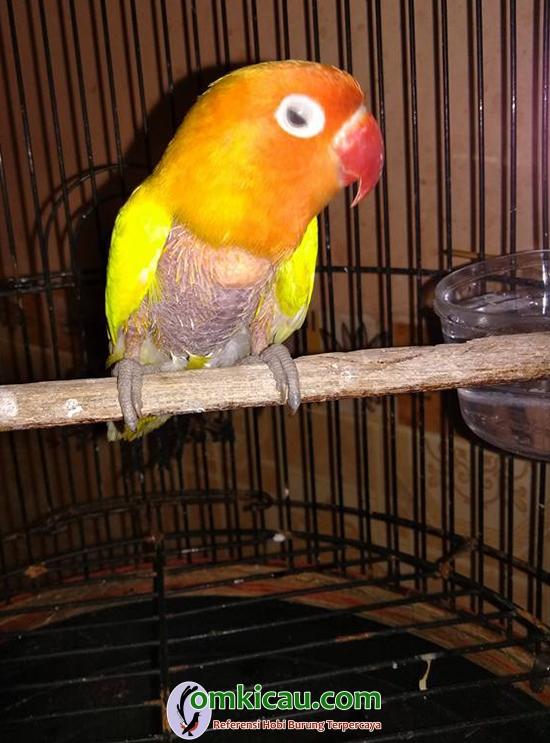 lovebird Granat