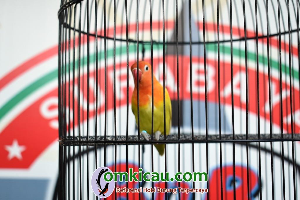 Lovebird Wangi