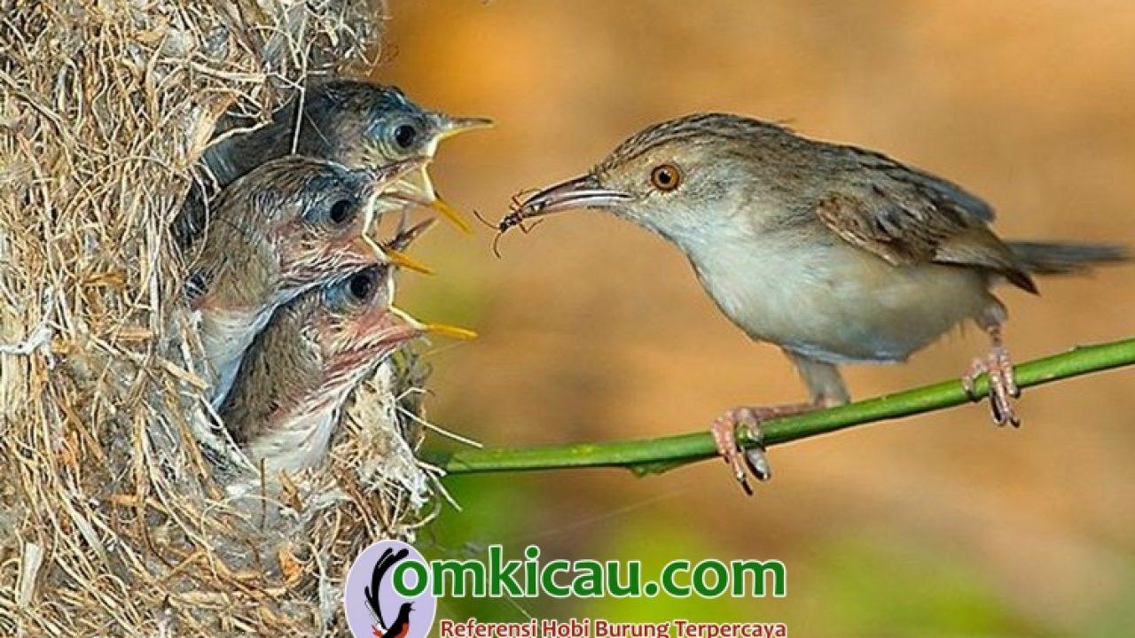 Cara Beternak Burung Ciblek Panduan Untuk Pemula Om Kicau