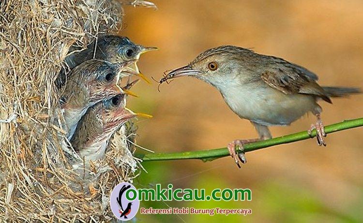 Cara beternak burung ciblek