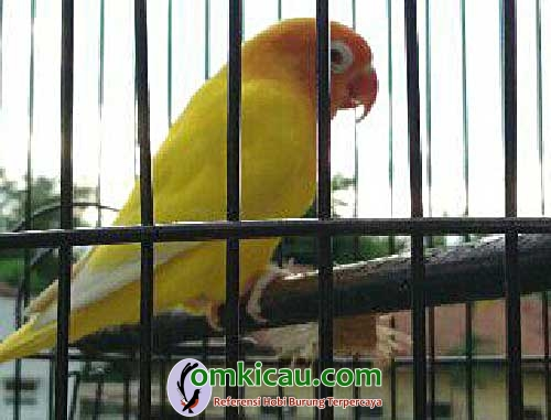 lovebird Lemon