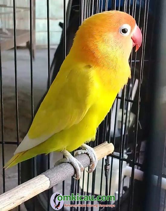 Lovebird Kemuneng