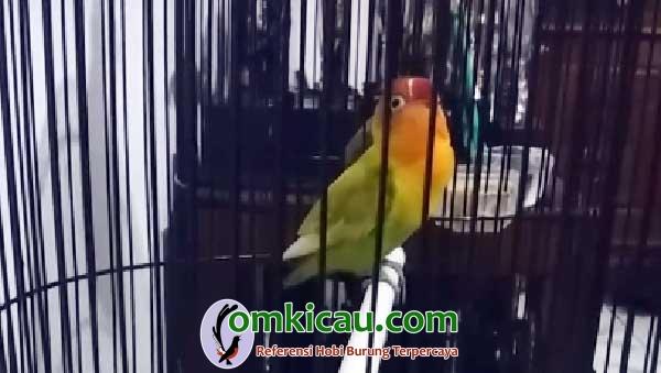 Lovebird Rambo