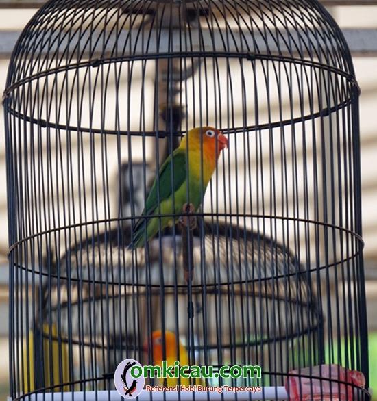 Lovebird Ian Baskara