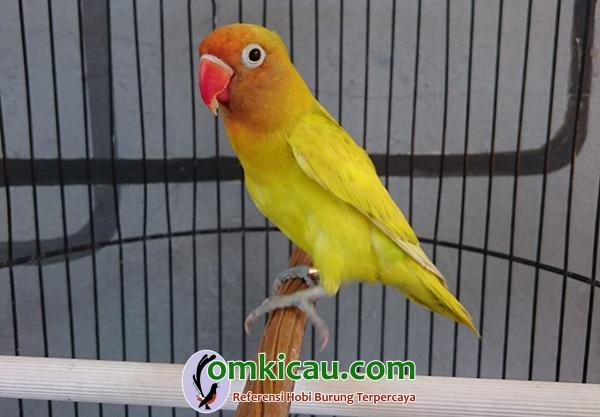 Lovebird paud GS