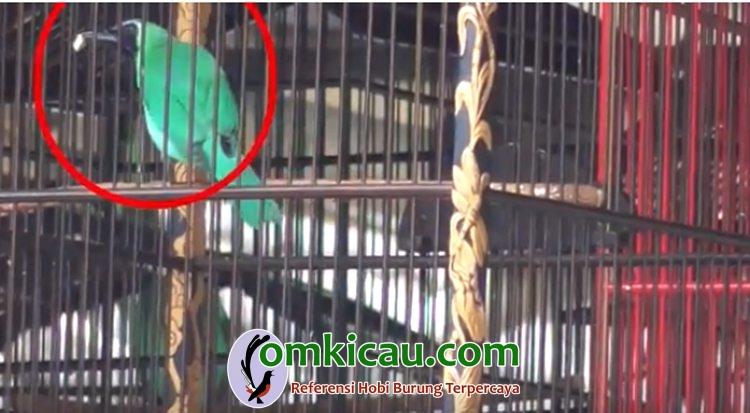 Burung cucak hijau yang makan ketika lomba