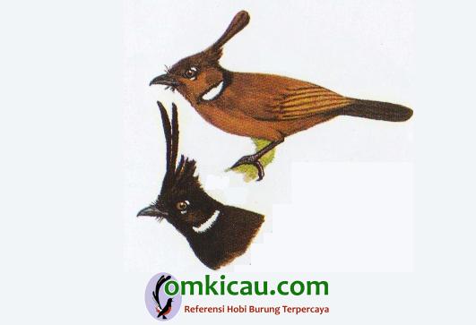 Burung cililin cokalt dan hitam saat ini termasuk burung dilindungi