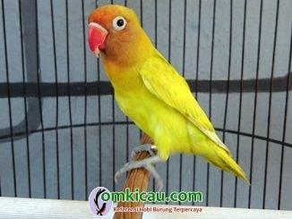 perawatan lovebird paud