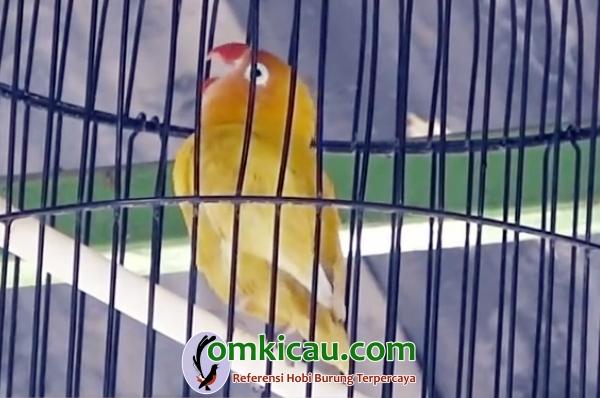 lovebird Kustono