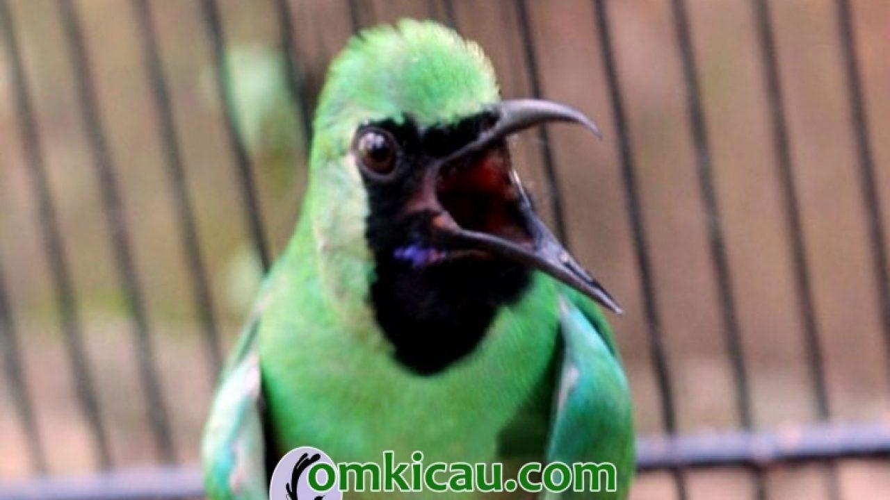 Cara Merawat Burung Cucak Ijo Agar Cepat Gacor Om Kicau