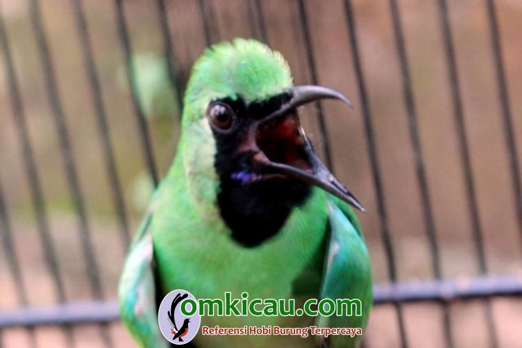 Cara merawat burung cucak hijau agar cepat gacor