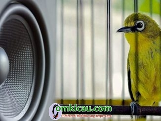 Tahap pemasteran pada burung pleci