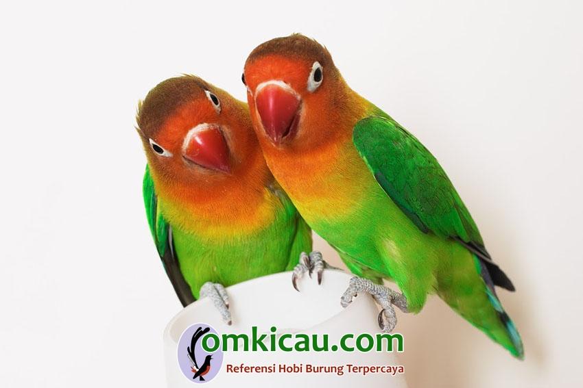 Tips perawatan lovebird untulan