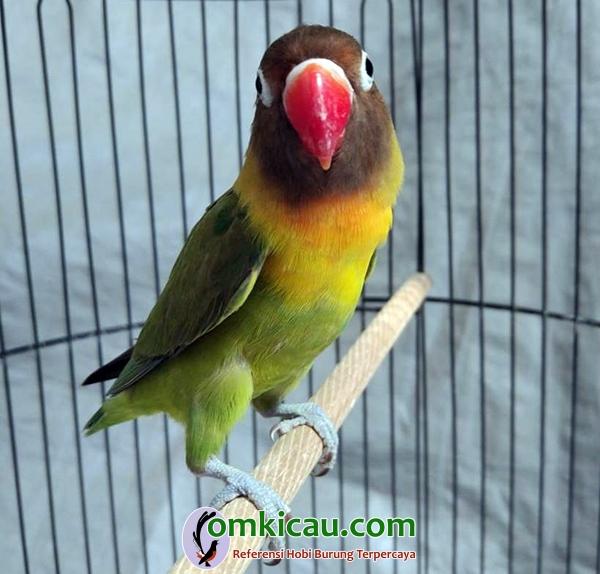 Lovebird Kaisar Jr