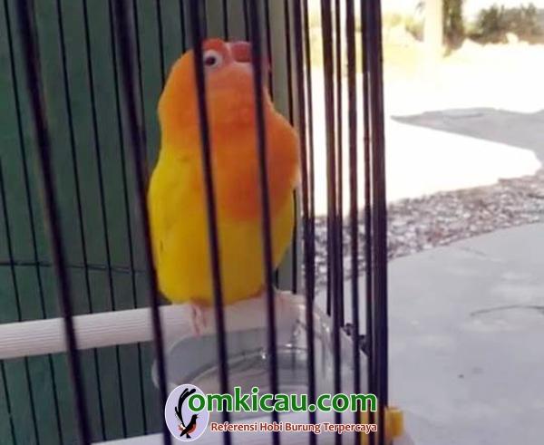 lovebird konslet