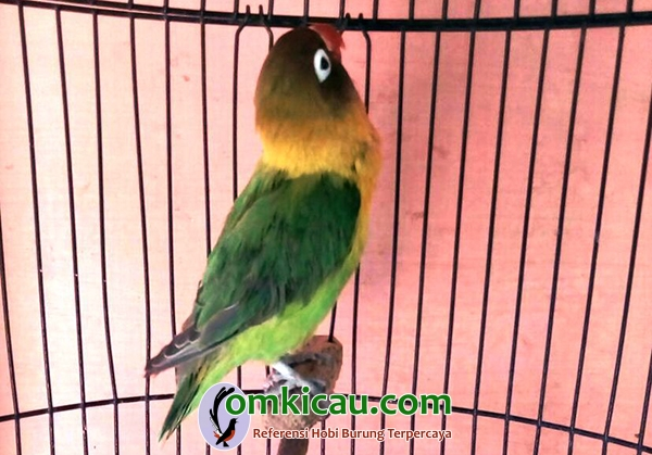 lovebird Shakila