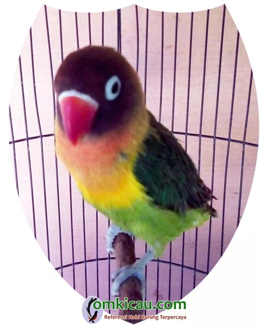 perawatan lovebird