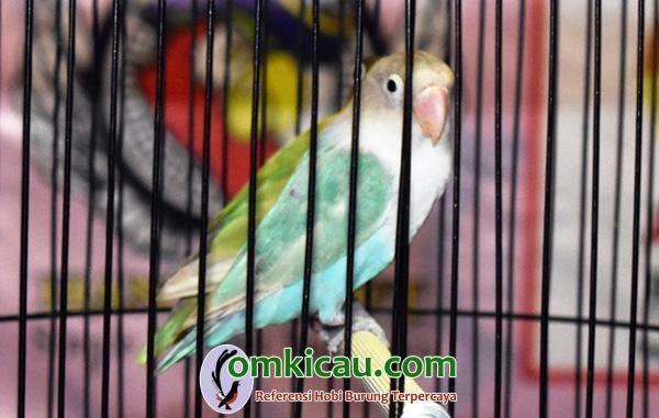 lovebird Buah Surga