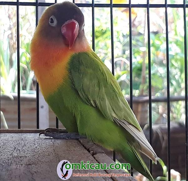 lovebird Harapan Jaya